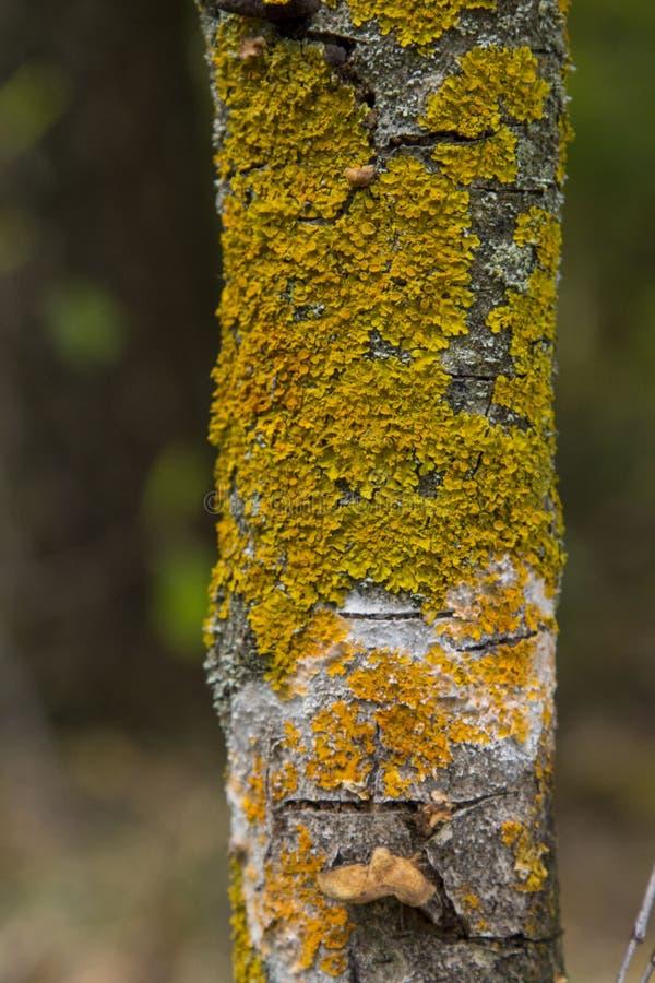 Желтый лишайник на коре дерева разрушает лес стоковые фото