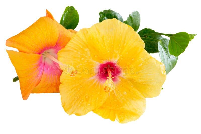 Желтый и оранжевый гибискус, тропические цветки, на белизне стоковые фото