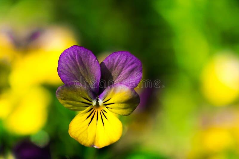 Желтый и фиолетовый tricolor цветок альта Pansy Макрос стоковое изображение