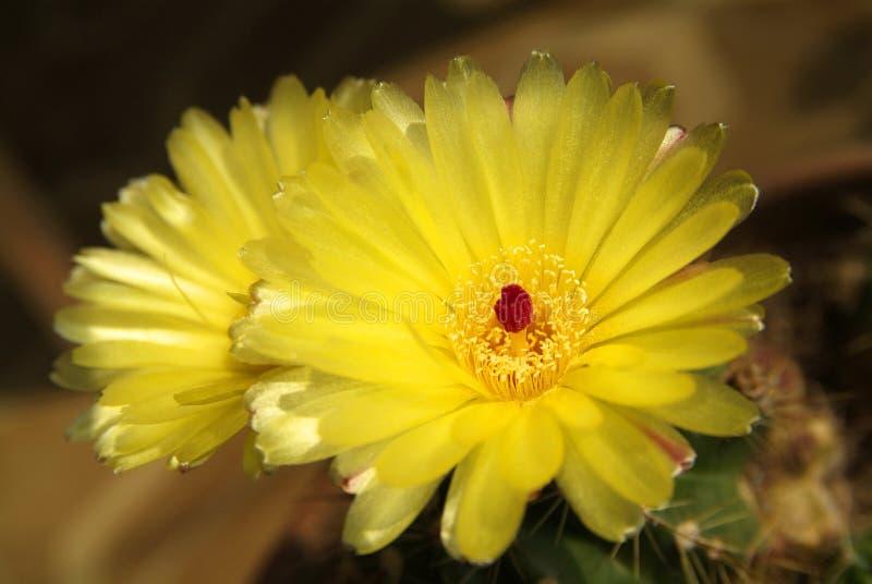Download Желтый кактус стоковое фото. изображение насчитывающей чувствительно - 81800142