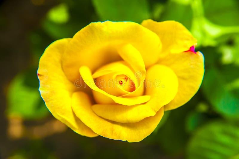 Желтый китаец поднял стоковое изображение