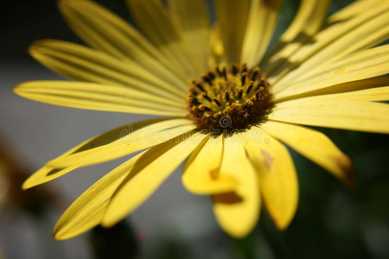 Желтый крупный план цветка стоковая фотография rf
