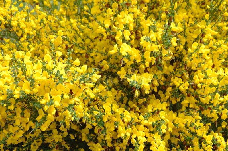 Желтый куст стоковое изображение rf