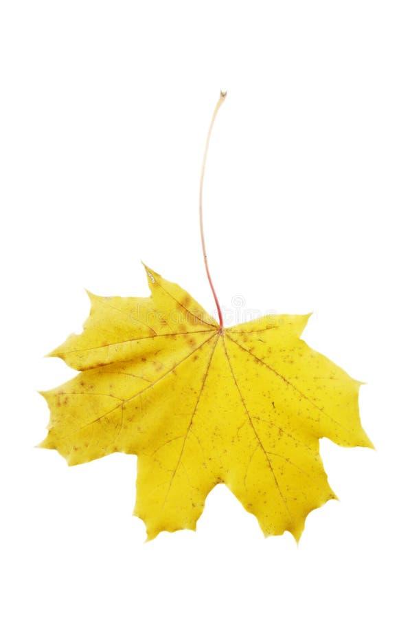 Желтый кленовый лист изолированный на белой предпосылке стоковое фото rf