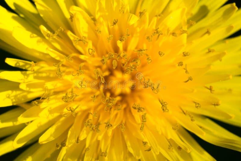 Желтый макрос одуванчика снял на солнечный день стоковые изображения