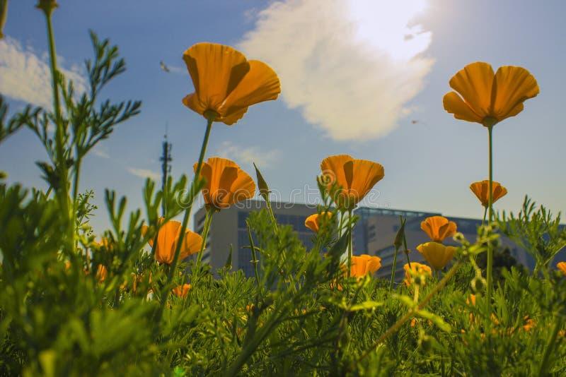 Желтый мак Калифорнии стоковые изображения