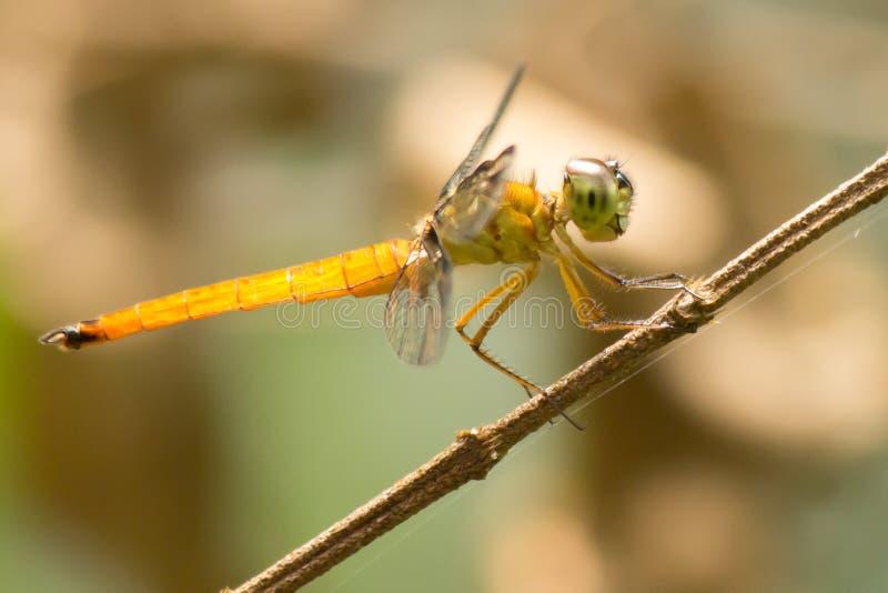 Желтый охотник стоковая фотография rf