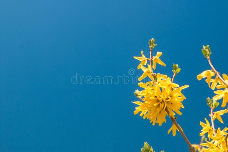 Желтый принуждать цветет europaea Forsythia весной против голубого неба стоковые фотографии rf