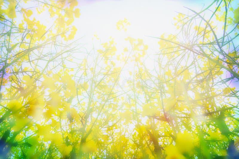 Желтый рапс цветет в солнечном свете, запачканной предпосылке природы стоковое фото rf