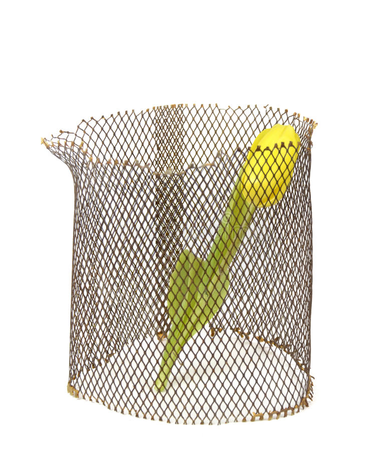 Желтый тюльпан в решетке на белой предпосылке. стоковые фото