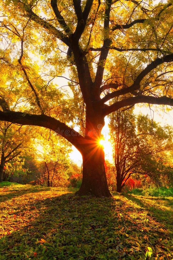 Желтый дуб и естественные лучи солнца стоковое изображение