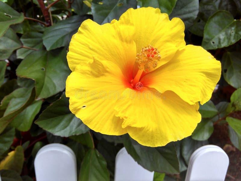 Желтый цветок гибискуса стоковые фото