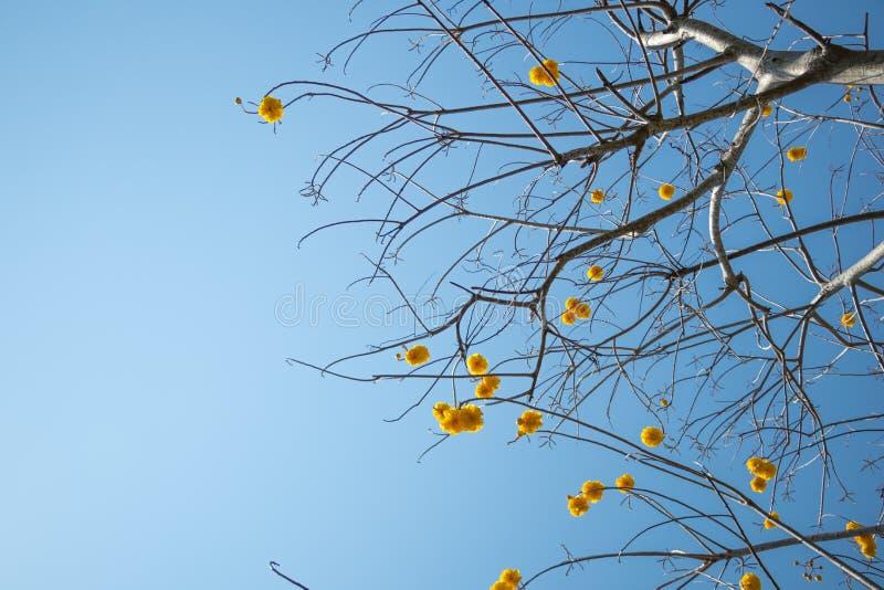 Желтый цветок дерева silk хлопка на голубом небе в дневном времени стоковая фотография