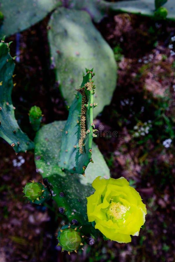 Download Желтый цветок кактуса стоковое изображение. изображение насчитывающей кровопролитное - 40589603