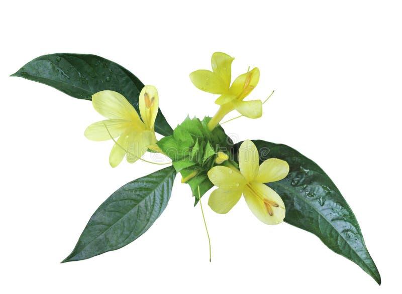 Желтый цветок креветки стоковые фотографии rf