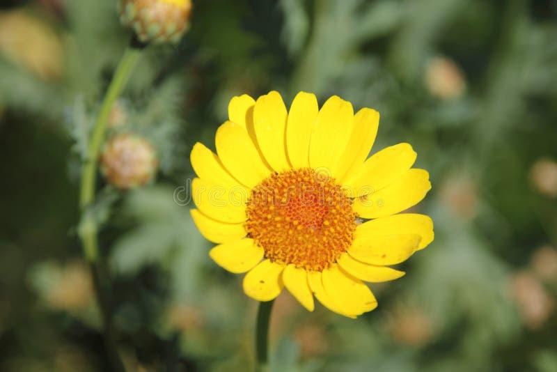 Желтый цветок маргаритки маргаритки стоковые изображения rf