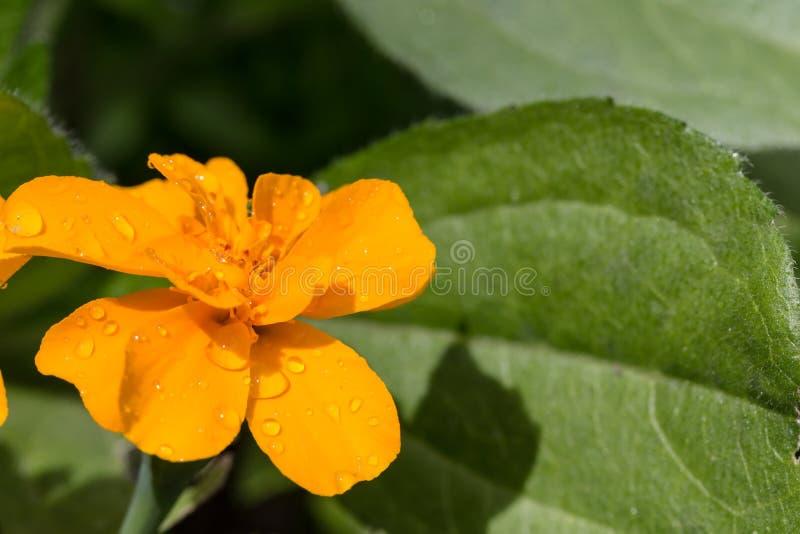 Желтый цветок ноготк с падениями воды стоковые изображения
