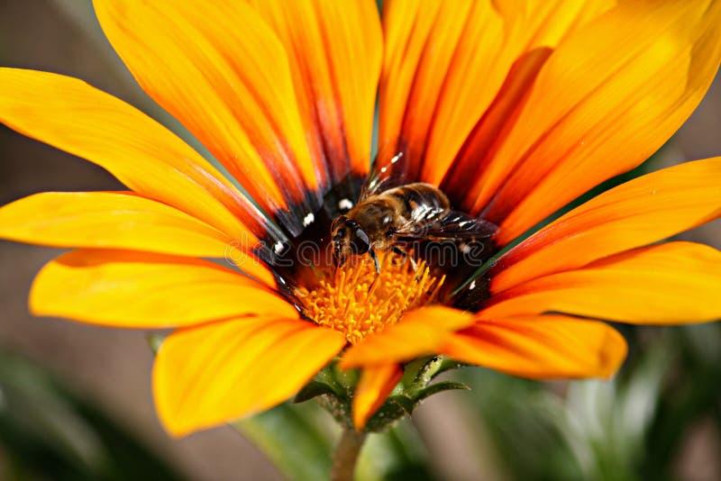 Желтый цветок с пчелой стоковое фото rf