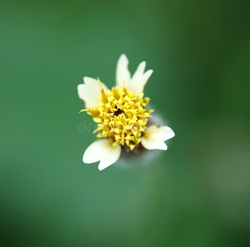 Желтый цветок травы стоковое изображение