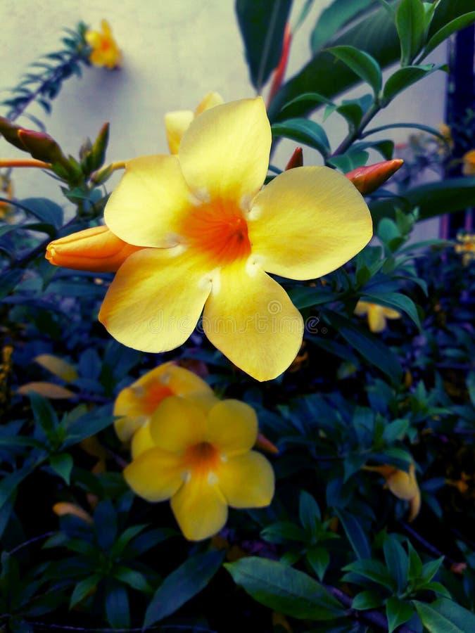 Желтый цветок bg стоковое изображение