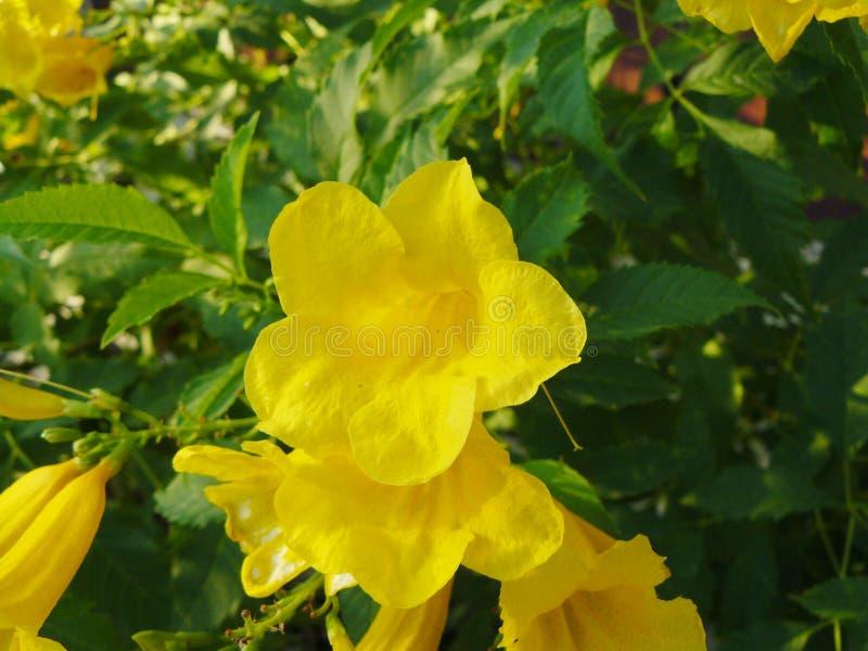 желтый цветок Cat& x27; коготь s стоковая фотография rf