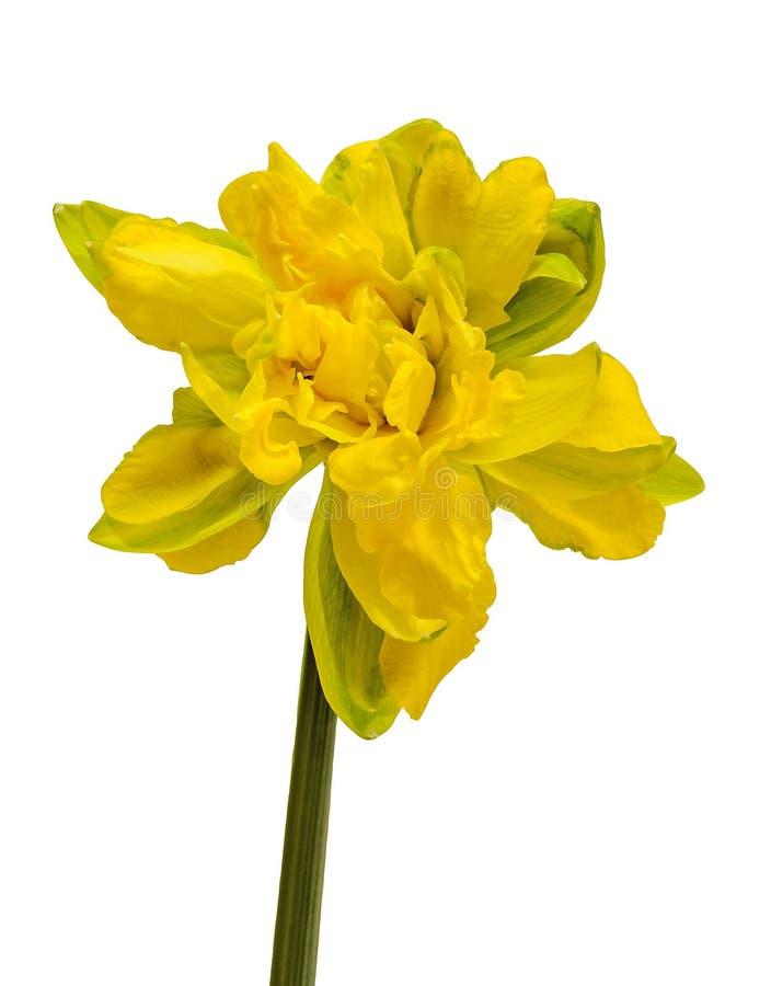 Желтый цветок daffodil (narcissus), конец вверх, белая изолированная предпосылка, стоковое фото rf