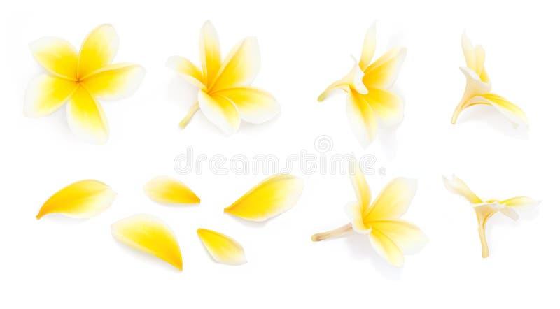 Желтый цветок frangipani установил с лепестками на белой предпосылке от различных углов Полезный для дизайна приглашения свадьбы  стоковое фото