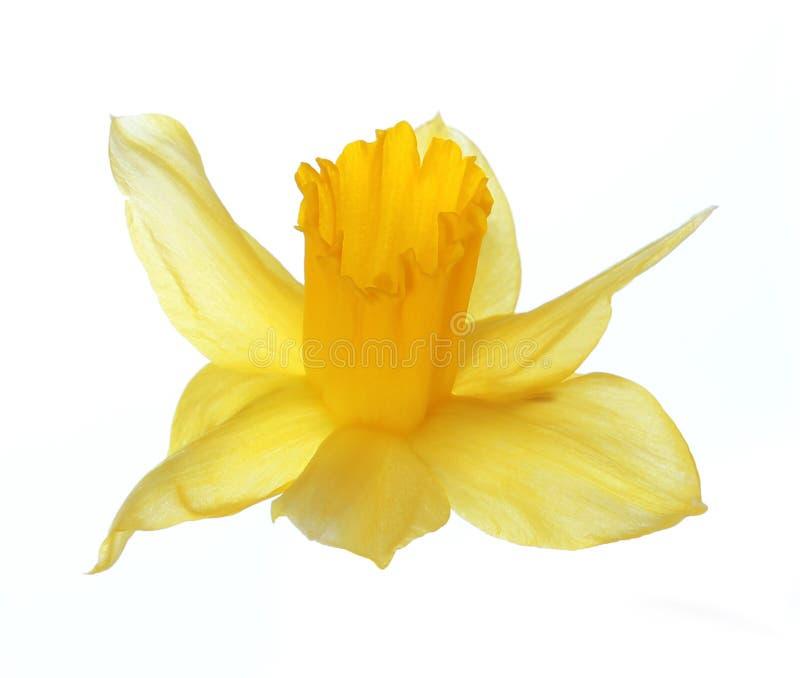 Желтый цветок narcissus изолированный на белизне стоковые изображения rf