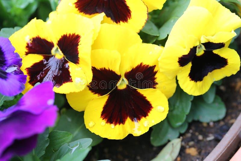 Желтый цветок pansy стоковое изображение