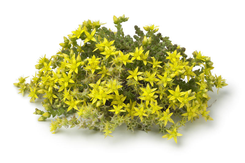 Желтый цветя акр Sedum стоковое изображение rf