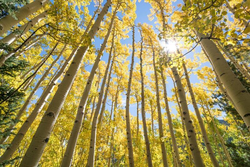 желтый цвет валов осины стоковые фото