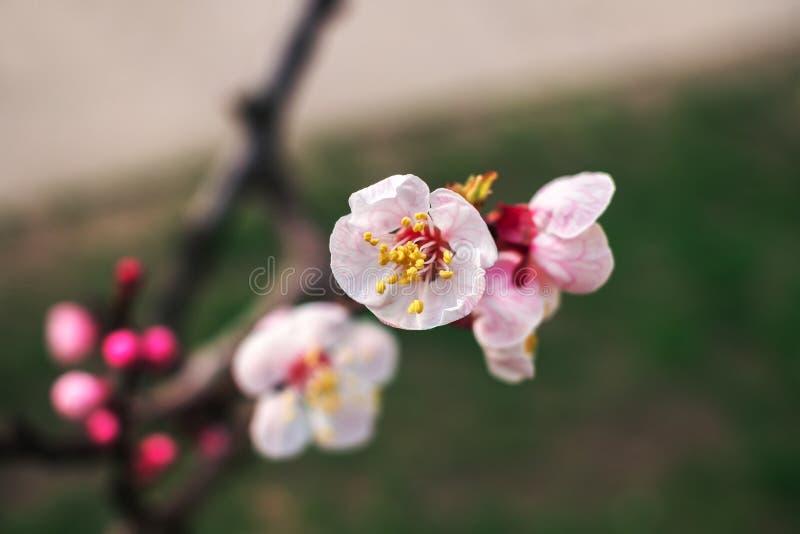 желтый цвет весны лужка одуванчиков предпосылки полный Дерево с розовыми цветками стоковые изображения