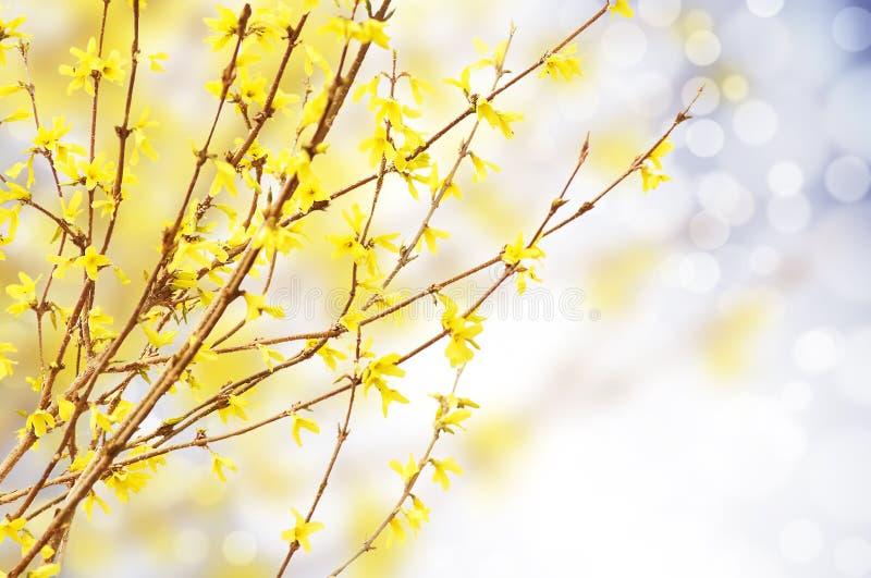Желтый цвет весны яркий зацветая forsythia, natur стоковые фотографии rf