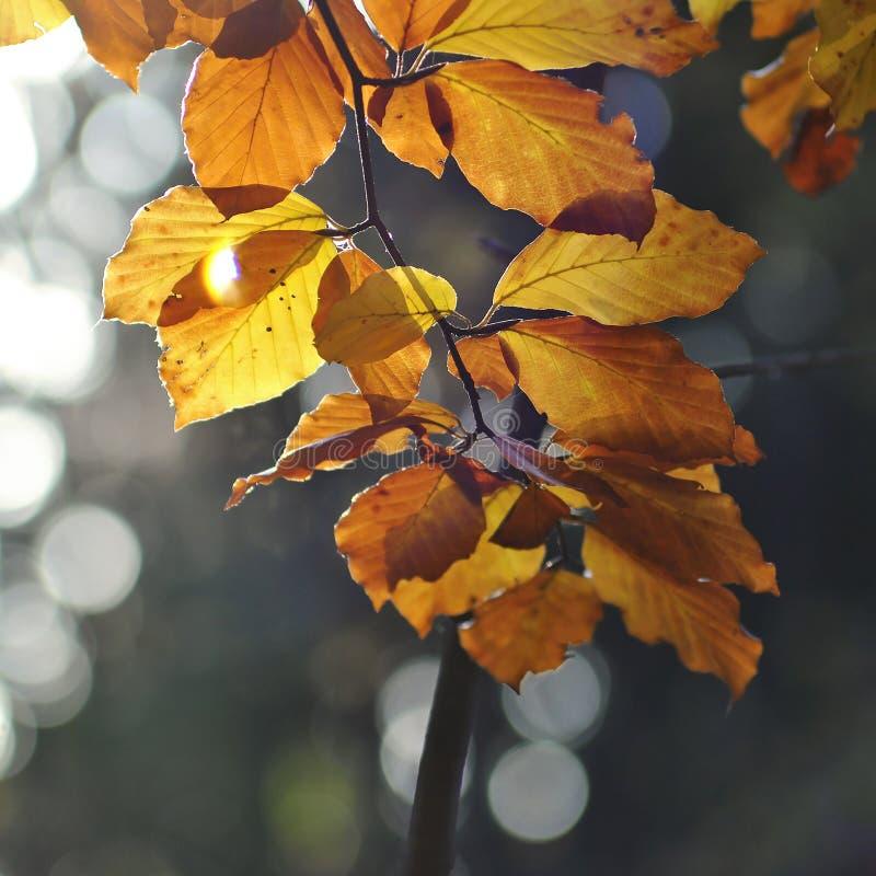 Желтый цвет выходит на дерево бука на осени стоковые изображения rf