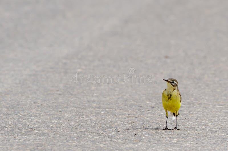 желтый цвет глуши wagtail природы зоны русский стоковая фотография
