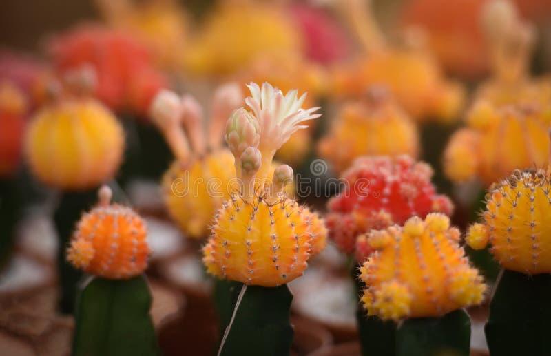 Желтый цвет кактуса стоковые фотографии rf