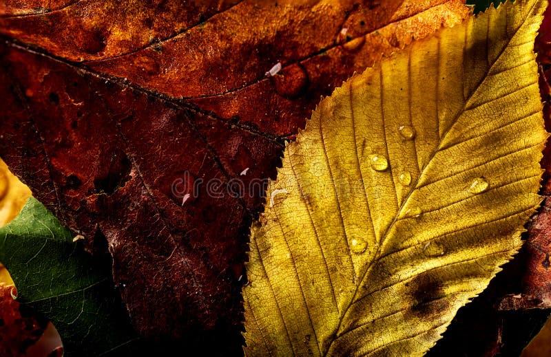 Желтый цвет красивого макроса листьев осени красный красит крупный план стоковые изображения rf