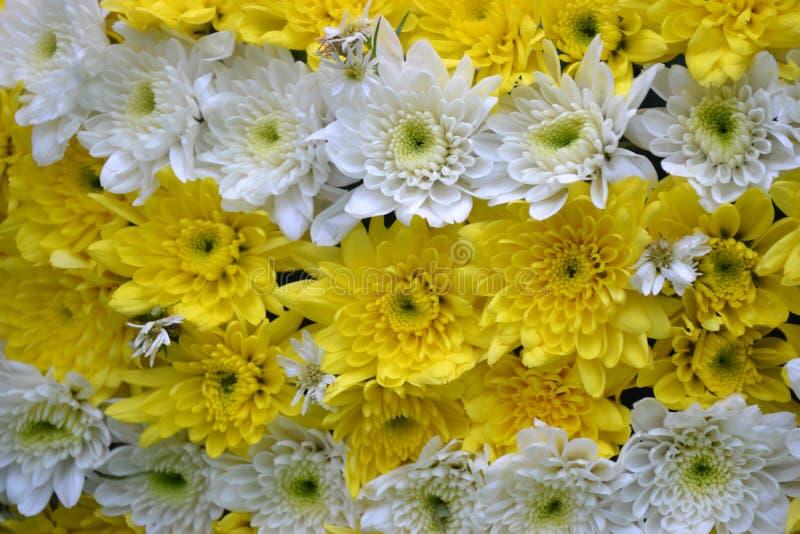 Желтый цвет красивых цветков белый стоковое фото