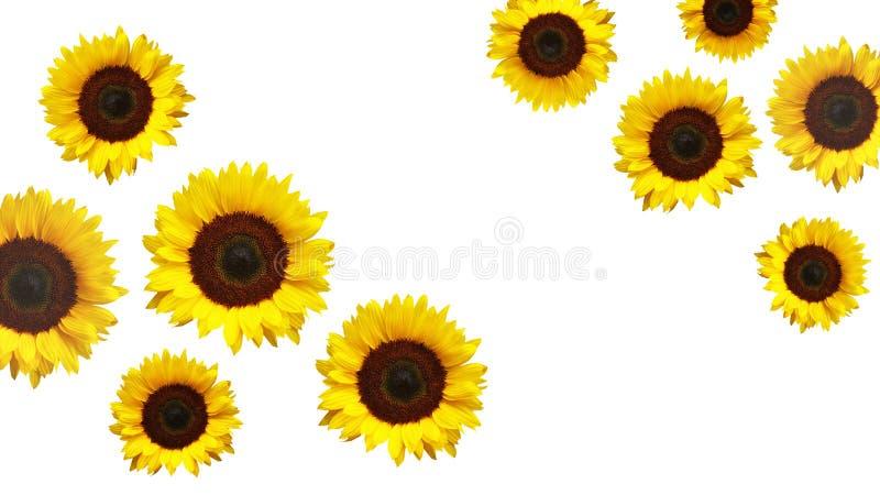 желтый цвет солнцецветов цветка поля флористический стоковое фото rf