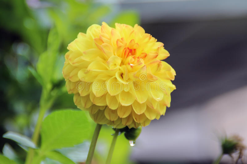 желтый цвет цветка георгина одиночный стоковые фото