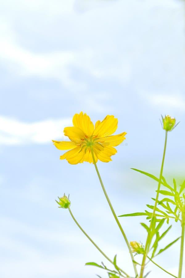 желтый цвет цветка космоса стоковые изображения rf