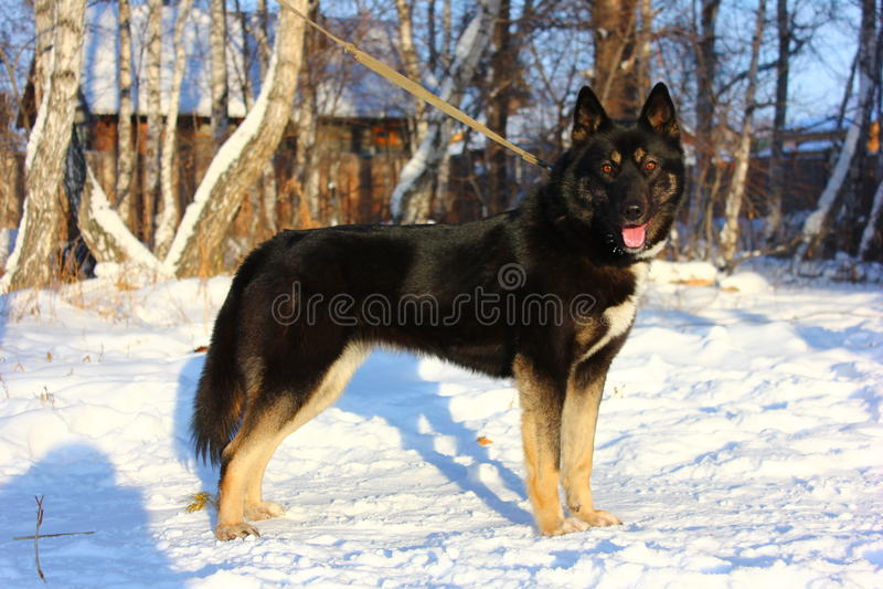 желтый цвет labrador звероловства собаки предпосылок белый стоковое фото