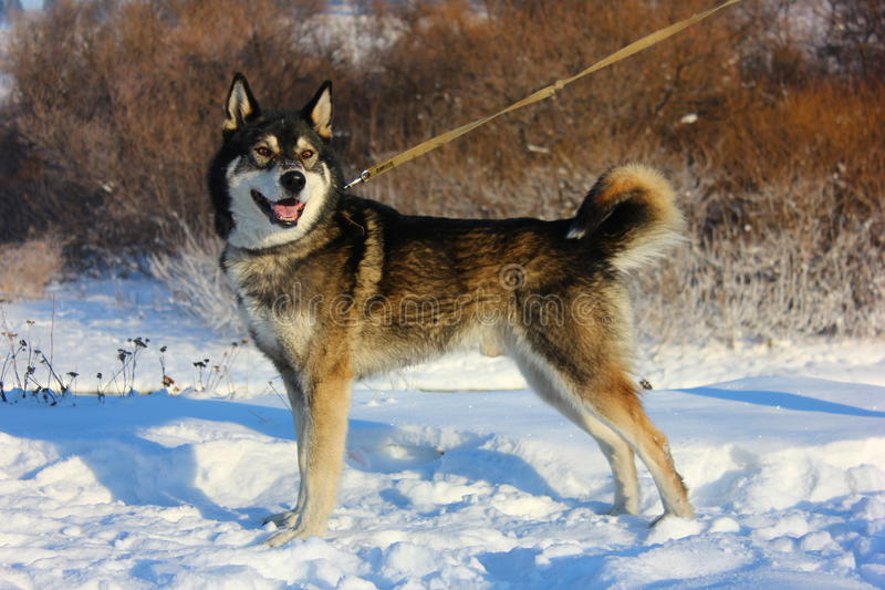 желтый цвет labrador звероловства собаки предпосылок белый стоковая фотография