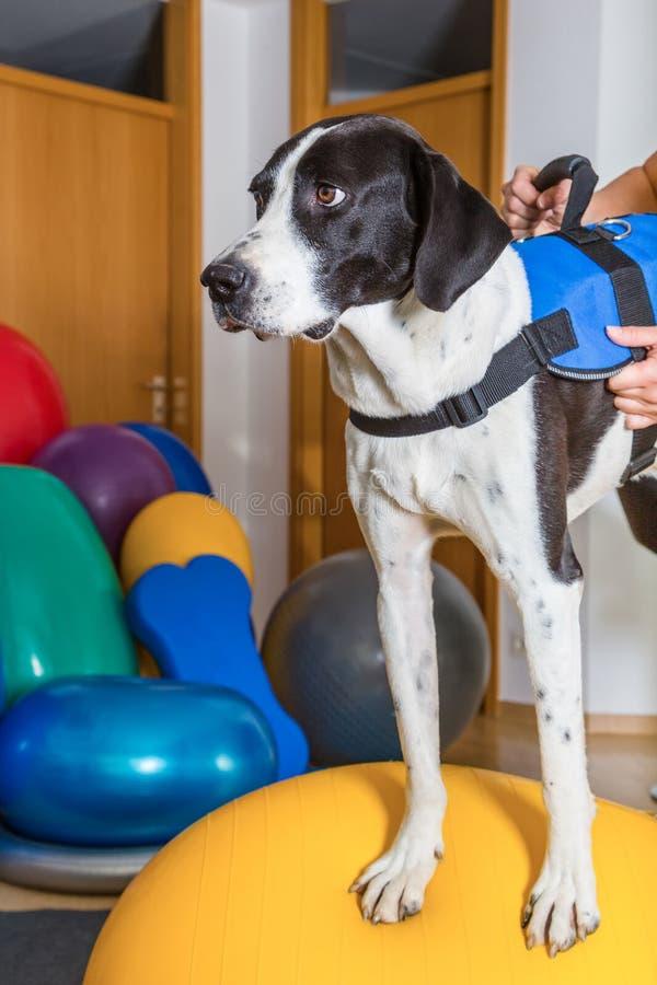 желтый цвет labrador звероловства собаки предпосылок белый стоковая фотография rf