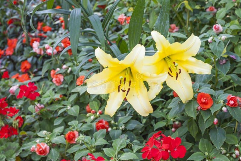 Желтый цвет lilly стоковая фотография rf