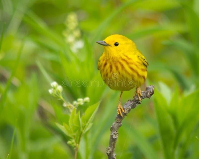 желтый цвет warbler пункта pelee парка ontario положения Канады национальный стоковое изображение rf