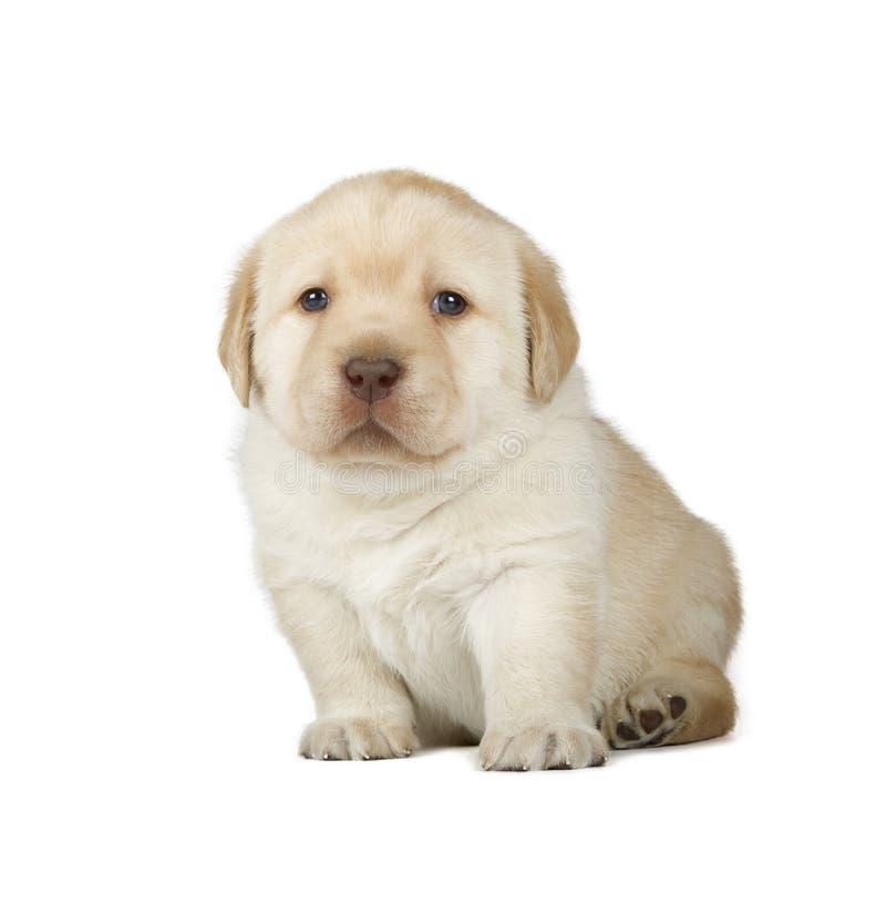 Желтый щенок Retriever Лабрадора стоковая фотография