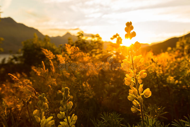 Желтый люпин стоковая фотография
