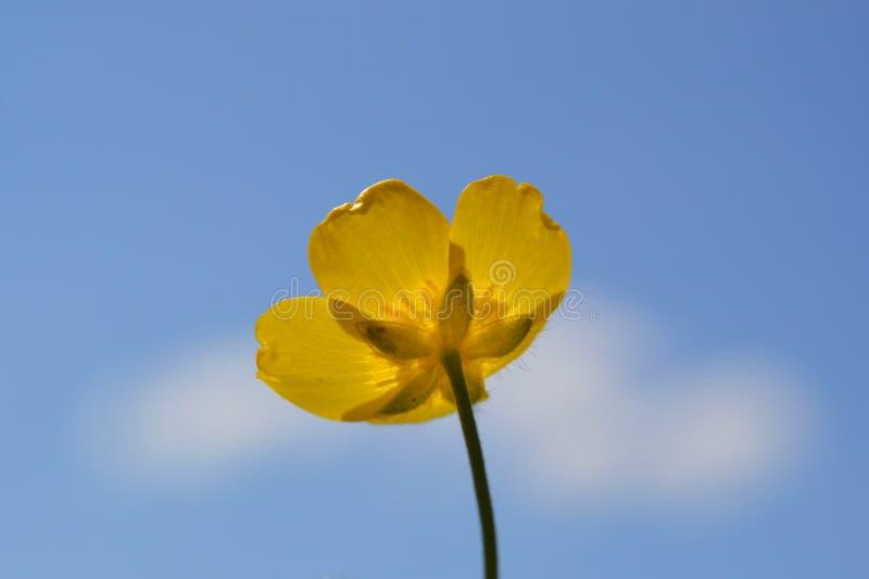 Желтый лютик против голубого неба стоковое фото
