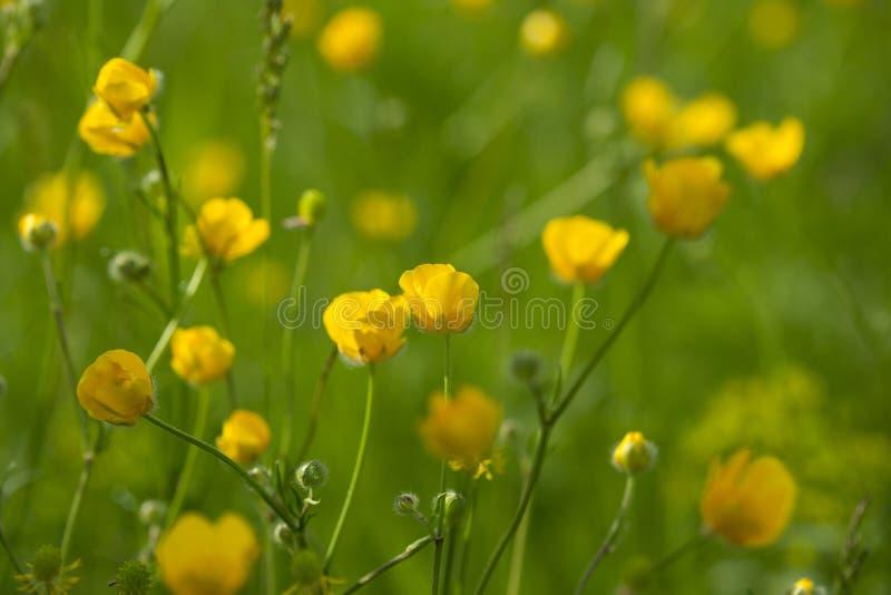 Желтый лютик цветет в луге среди зеленой травы в летнем дне Справочная информация стоковая фотография rf